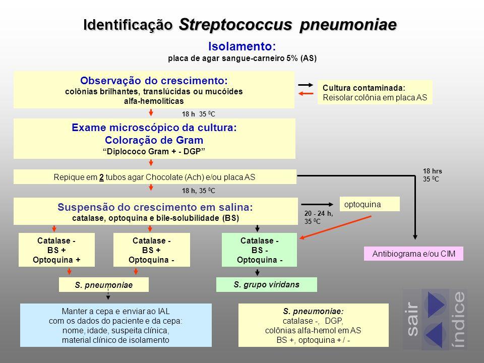 Identificação Streptococcus pneumoniae Isolamento: placa de agar sangue-carneiro 5% (AS) Observação do crescimento: colônias brilhantes, translúcidas