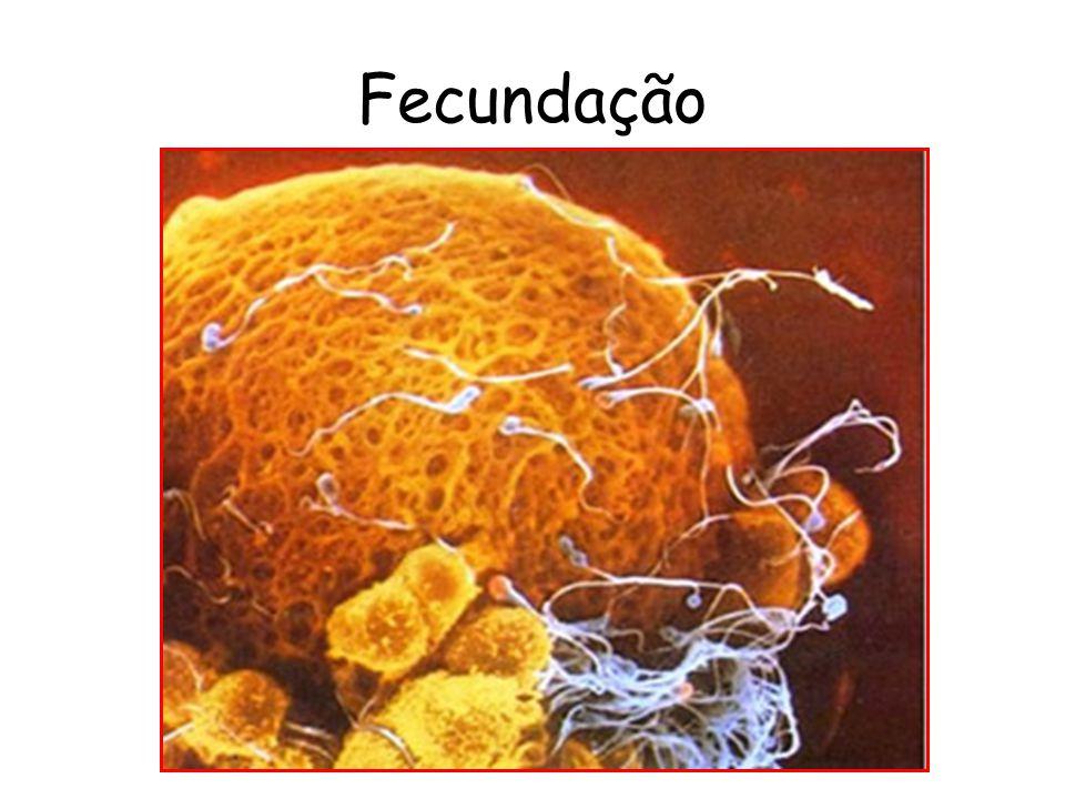 Sistema reprodutor Masculino Testículos; Epidídimos; Ducto deferente; Próstata; Vesícula seminal; Duto ejaculador; Uretra e pênis.