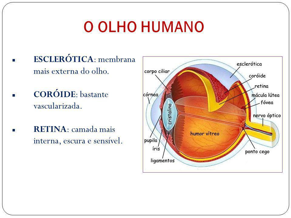 Glândulas lacrimais Produzem lágrimas continuamente; Esse líquido, que é espalhado pelos movimentos das pálpebras, lava e lubrifica o olho; Quando cho