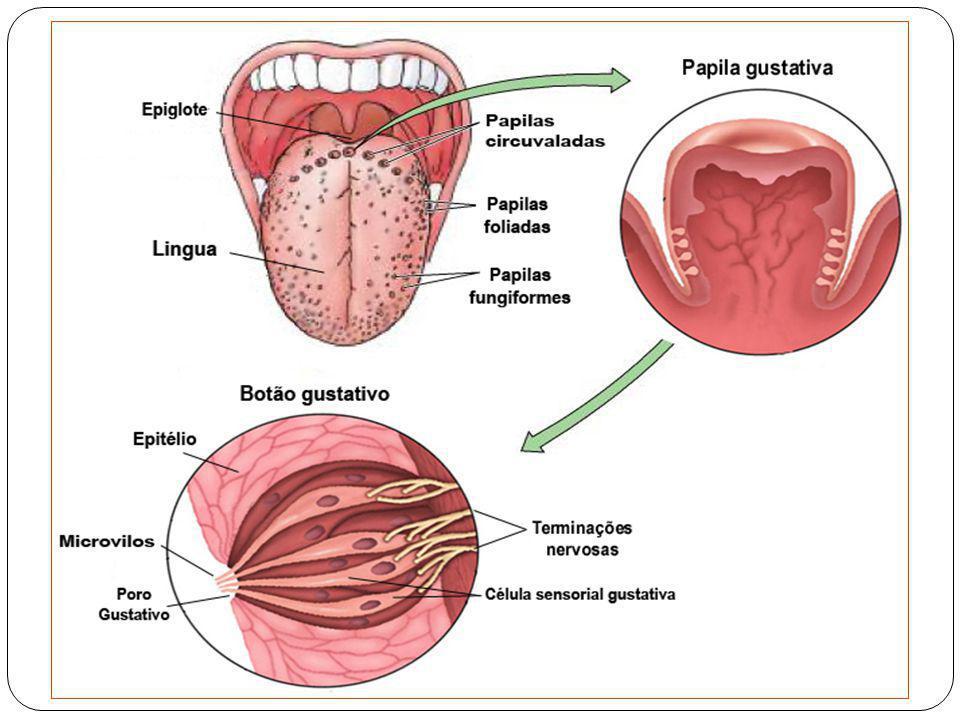 PALADAR OU GUSTAÇÃO A gustação é primariamente é uma função da LÍNGUA, embora regiões da faringe, palato e epiglote também tenham alguma sensibilidade