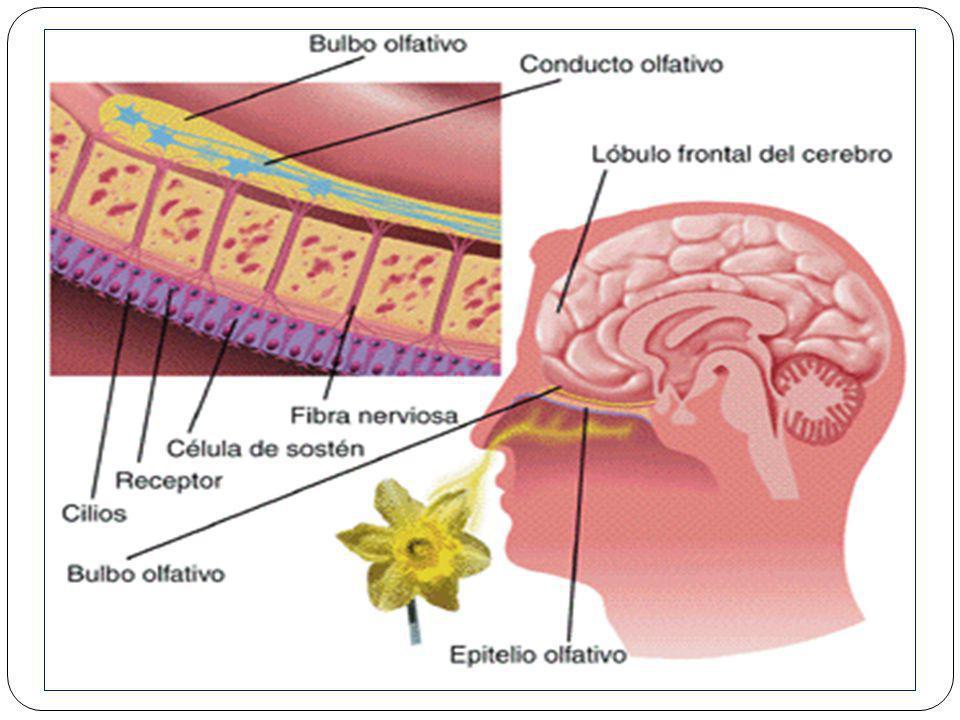 OLFATO O epitélio olfativo humano contém cerca de 20 milhões de células sensoriais, cada qual com seis pêlos sensoriais (um cachorro tem mais de 100 m