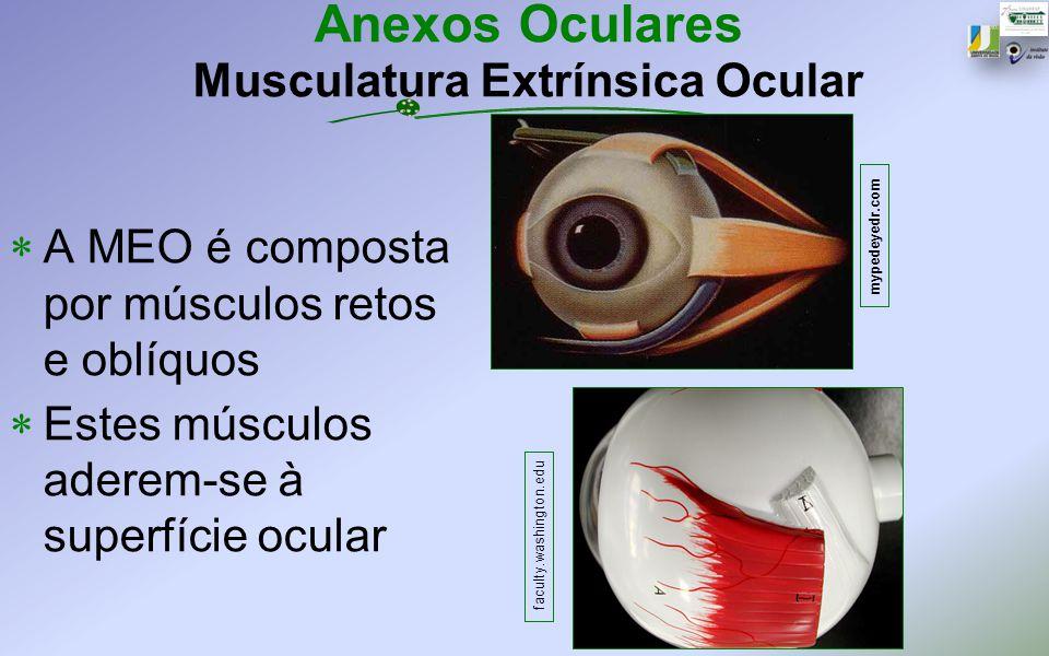 Anexos Oculares Musculatura Extrínsica Ocular A MEO é composta por músculos retos e oblíquos Estes músculos aderem-se à superfície ocular mypedeyedr.c