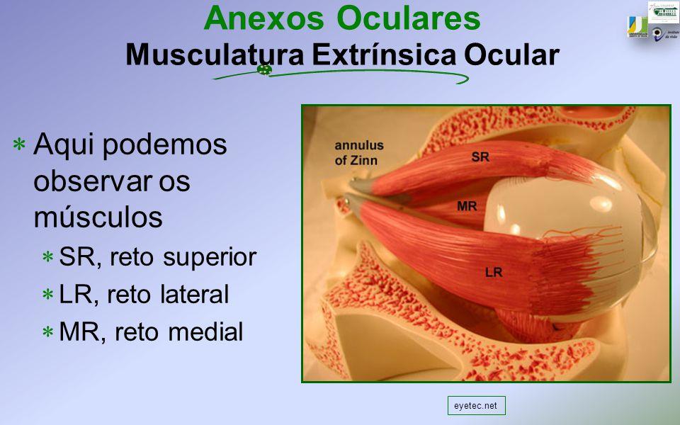 Anexos Oculares Musculatura Extrínsica Ocular Aqui podemos observar os músculos SR, reto superior LR, reto lateral MR, reto medial eyetec.net