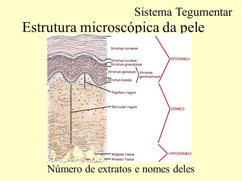 Estrutura microscópica da pele.EPIDERME Nova pele a cada 35-45 dias.
