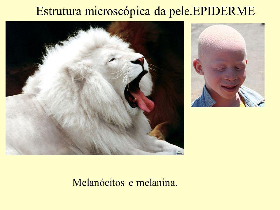 Estrutura microscópica da pele.EPIDERME Quatro tipos especializados de células na epiderme.