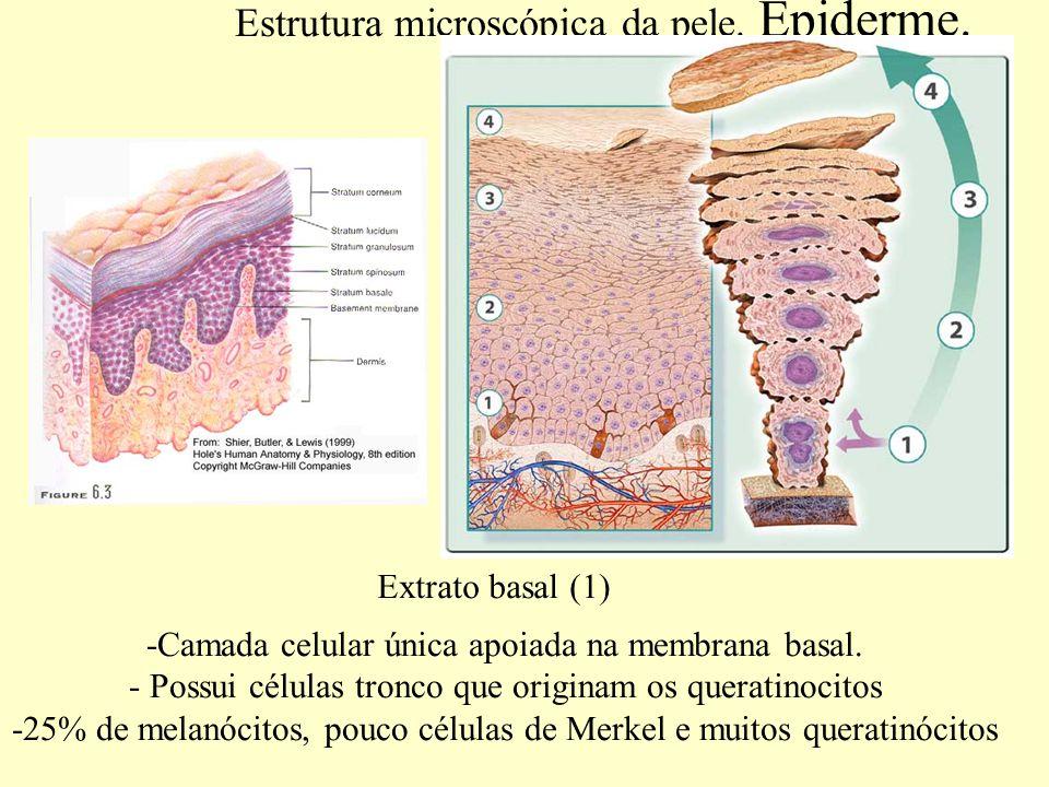 Estrutura microscópica da pele.Epiderme. Extrato espinhoso (2) -Mais espesso que o extrato basal.