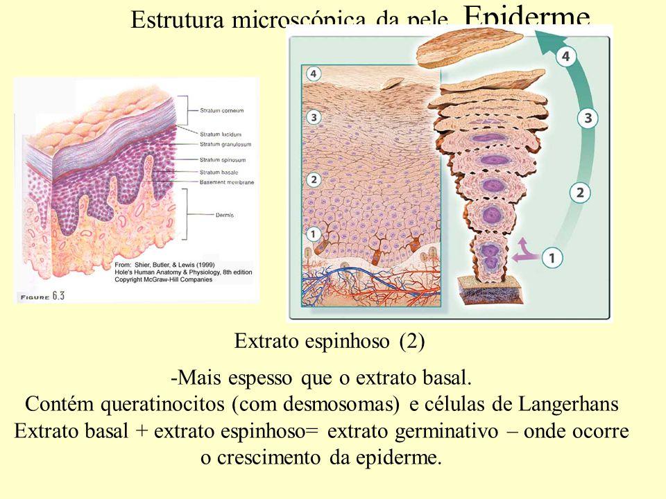 Estrutura microscópica da pele.Epiderme.