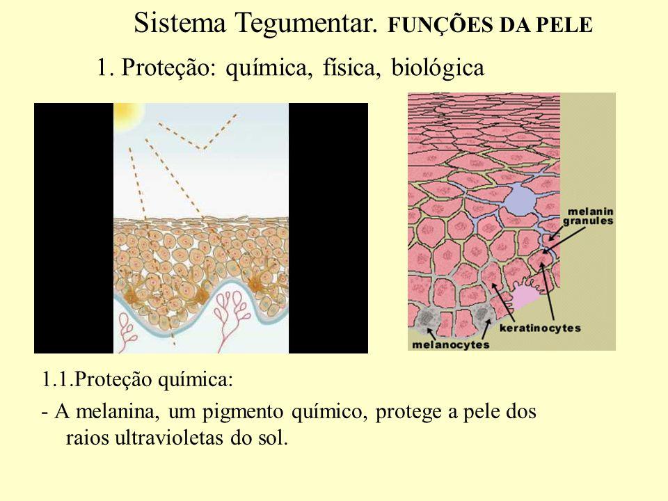 1.2 Proteção fisica: - As células queratinizadas da epiderme, pêlos, e unhas são barreiras contra a invasão de microrganismos e protege contra pequenos traumas -Evita a perda de água ou dessecação.