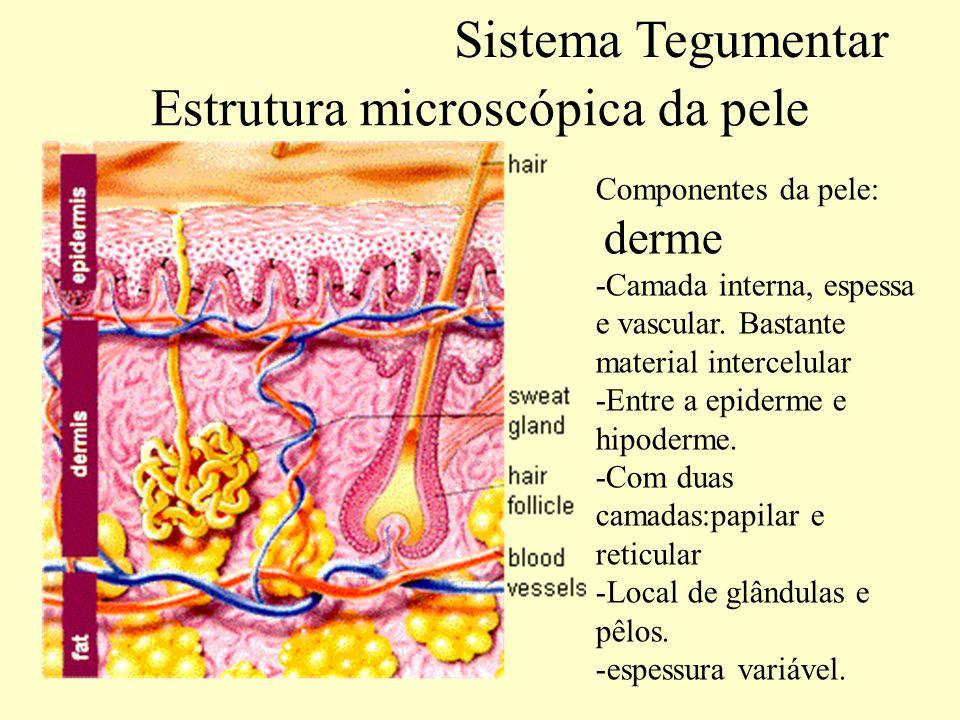 Estrutura microscópica da pele Hipoderme: não é uma camada da pele: Liga a pele ao resto do corpo.