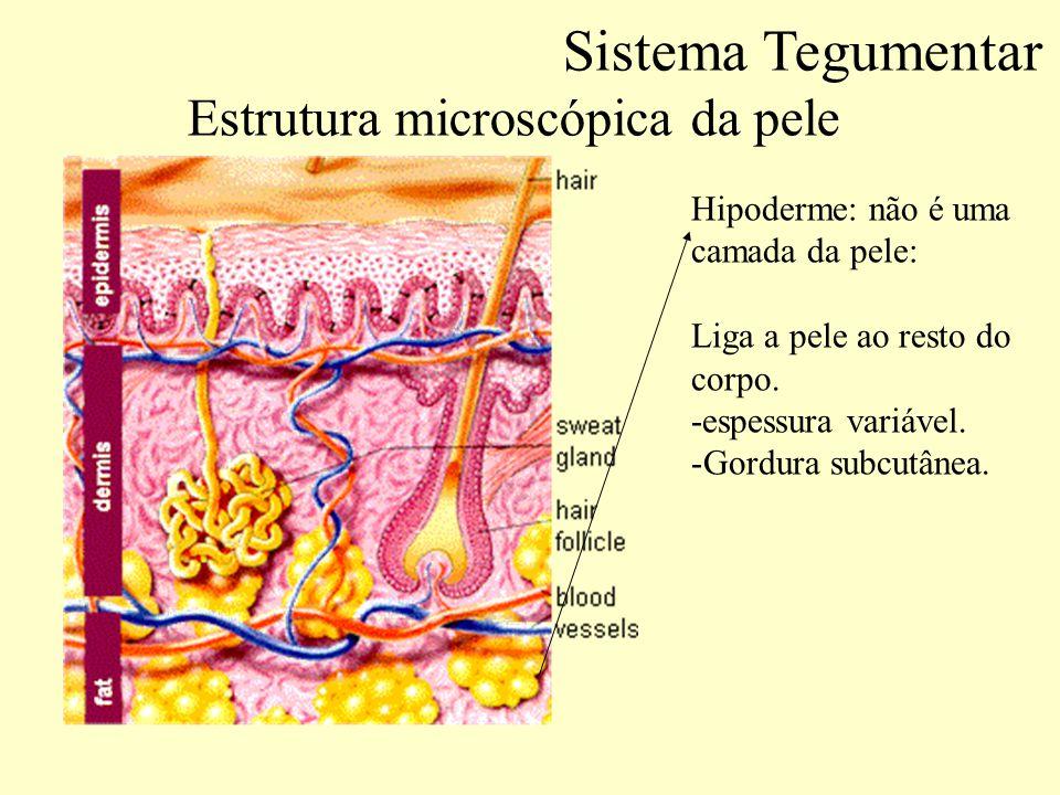 Estrutura microscópica da pele Número de extratos e nomes deles Sistema Tegumentar