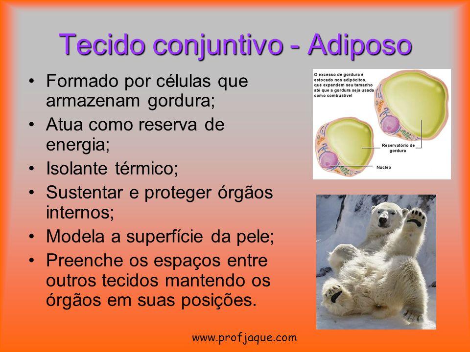 Formado por células que armazenam gordura; Atua como reserva de energia; Isolante térmico; Sustentar e proteger órgãos internos; Modela a superfície d