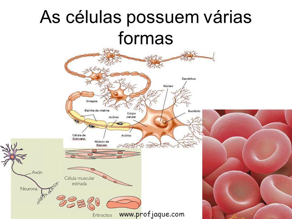 As células possuem várias formas www.profjaque.com
