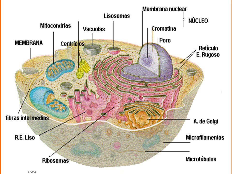 Algumas células produzem melanina, substancia que protege os tecidos contra os raios ultravioleta.