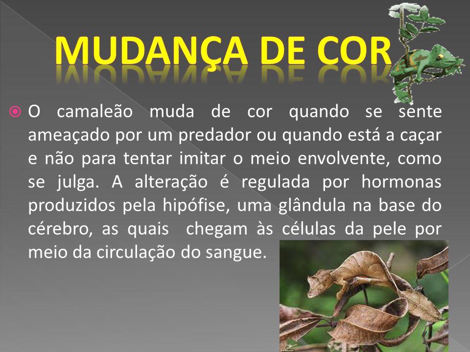 O camaleão muda de cor quando se sente ameaçado por um predador ou quando está a caçar e não para tentar imitar o meio envolvente, como se julga. A al