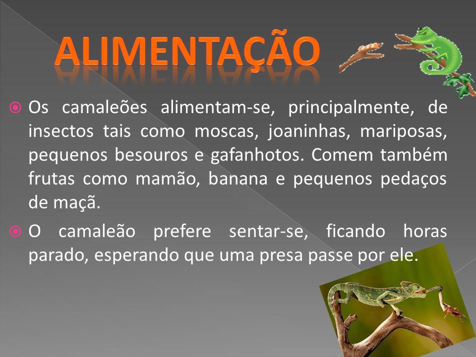 Os camaleões alimentam-se, principalmente, de insectos tais como moscas, joaninhas, mariposas, pequenos besouros e gafanhotos. Comem também frutas com