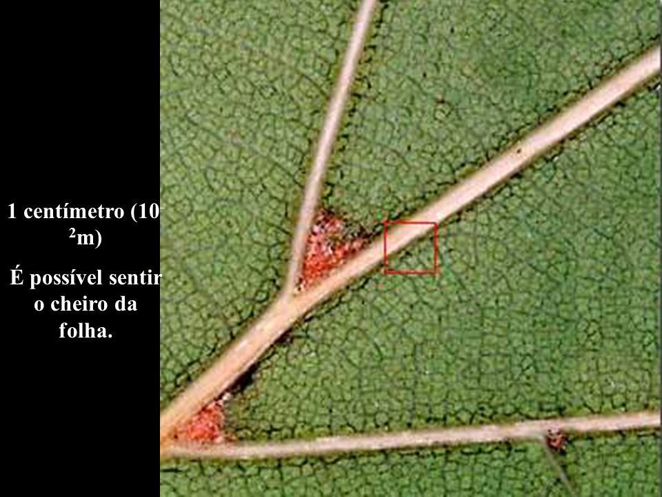 1 centímetro (10 - 2 m) É possível sentir o cheiro da folha.
