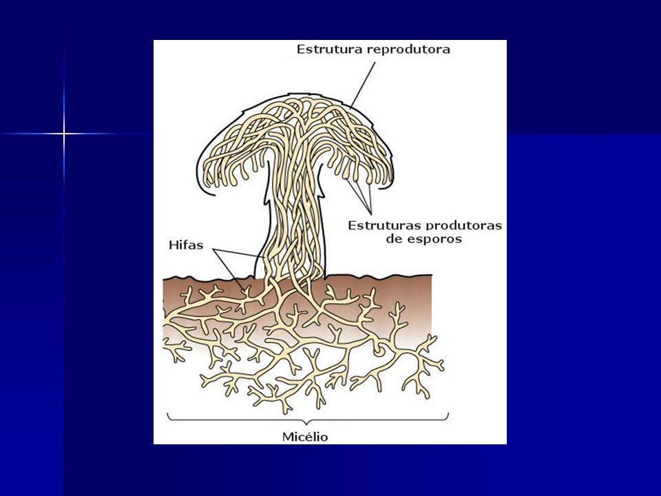 ORGANIZAÇÃO CORPORAL HIFAS - filamentos de células MICÉLIO – conjunto de hifas