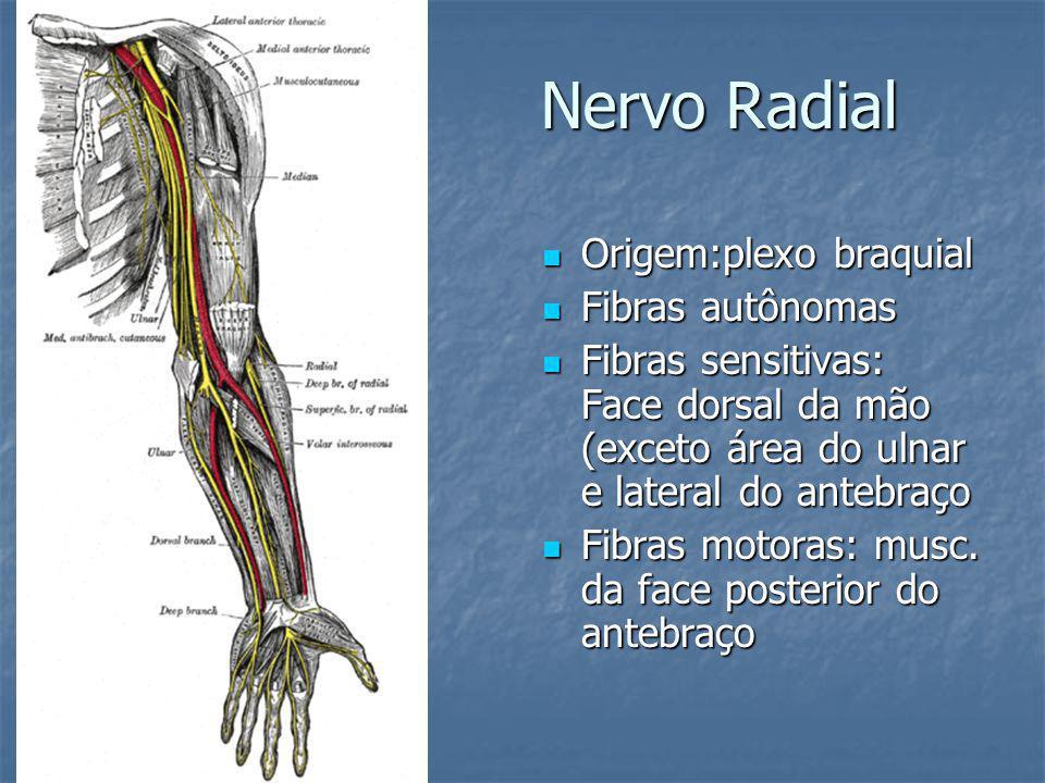 Nervo Radial Origem:plexo braquial Origem:plexo braquial Fibras autônomas Fibras autônomas Fibras sensitivas: Face dorsal da mão (exceto área do ulnar