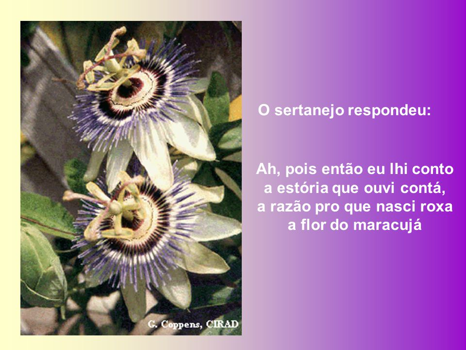 A FLOR DO MARACUJÁ Encontrando-me com um sertanejo perto de um pé de maracujá eu lhe perguntei: diga-me caro sertanejo porque razão nasce roxa a flor