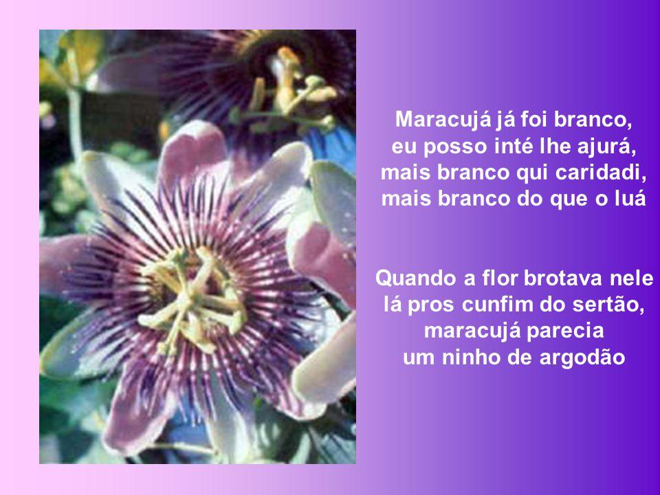 Ah, pois então eu lhi conto a estória que ouvi contá, a razão pro que nasci roxa a flor do maracujá O sertanejo respondeu: