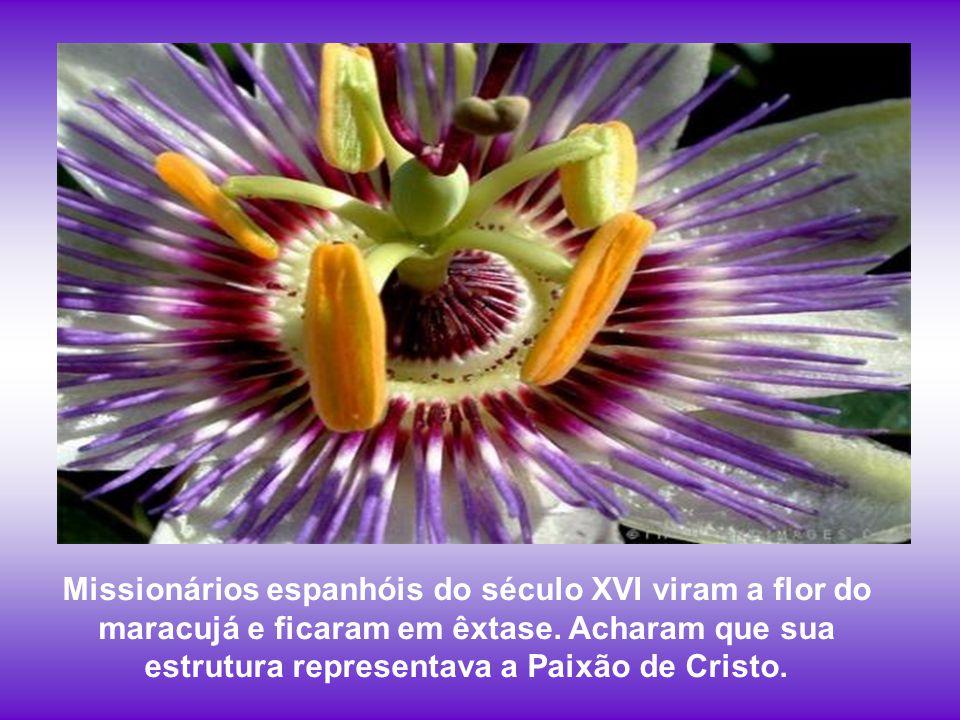 Missionários espanhóis do século XVI viram a flor do maracujá e ficaram em êxtase.