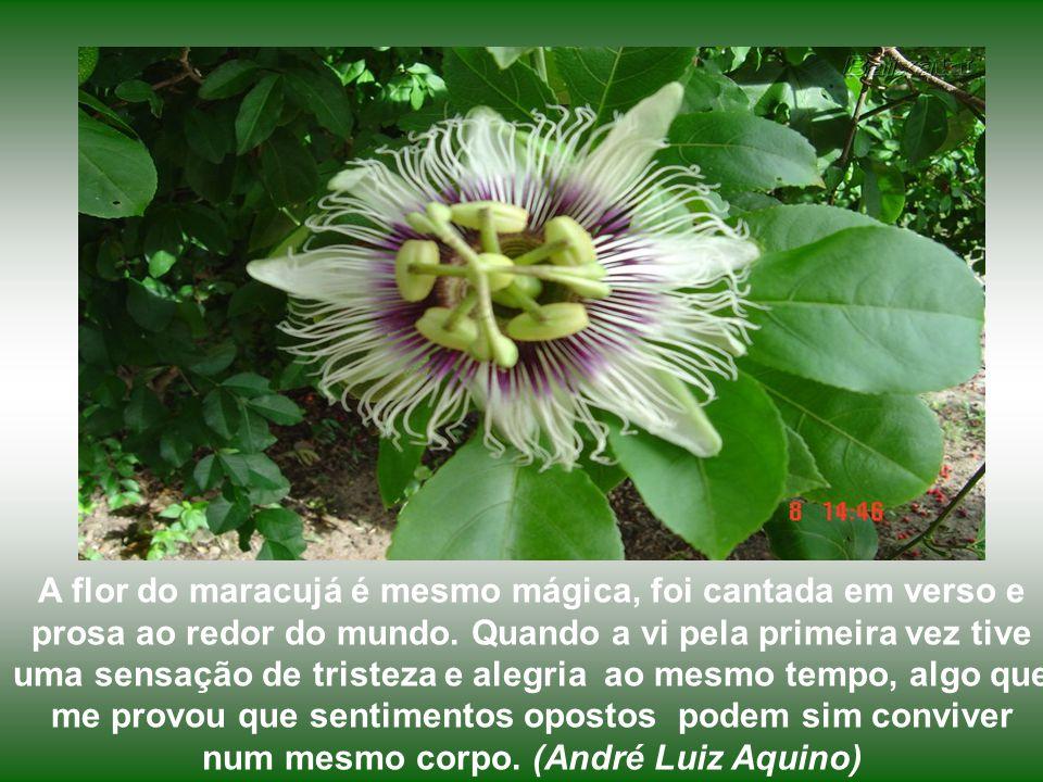 As flores seriam manchadas de roxo em virtude do sangue de Cristo.