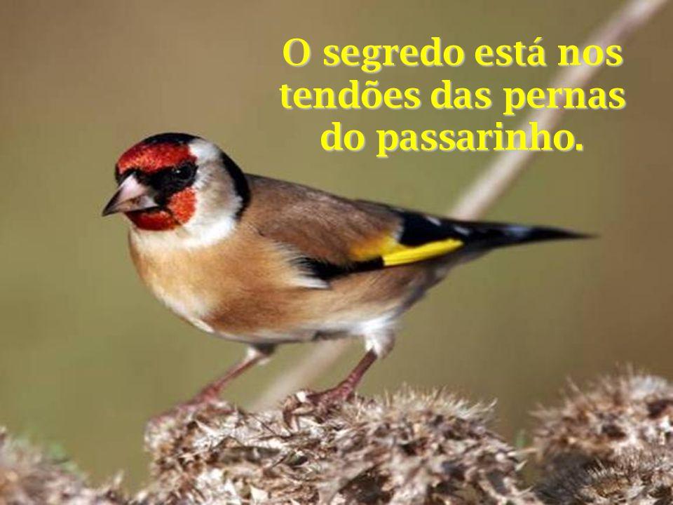 O segredo está nos tendões das pernas do passarinho.