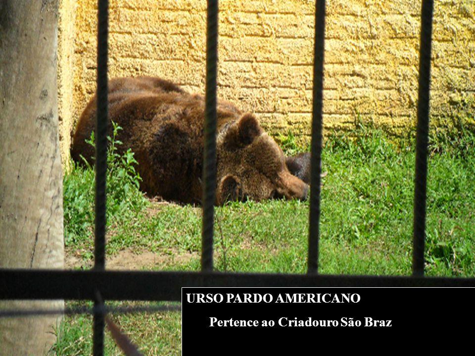 URSO PARDO AMERICANO Pertence ao Criadouro São Braz
