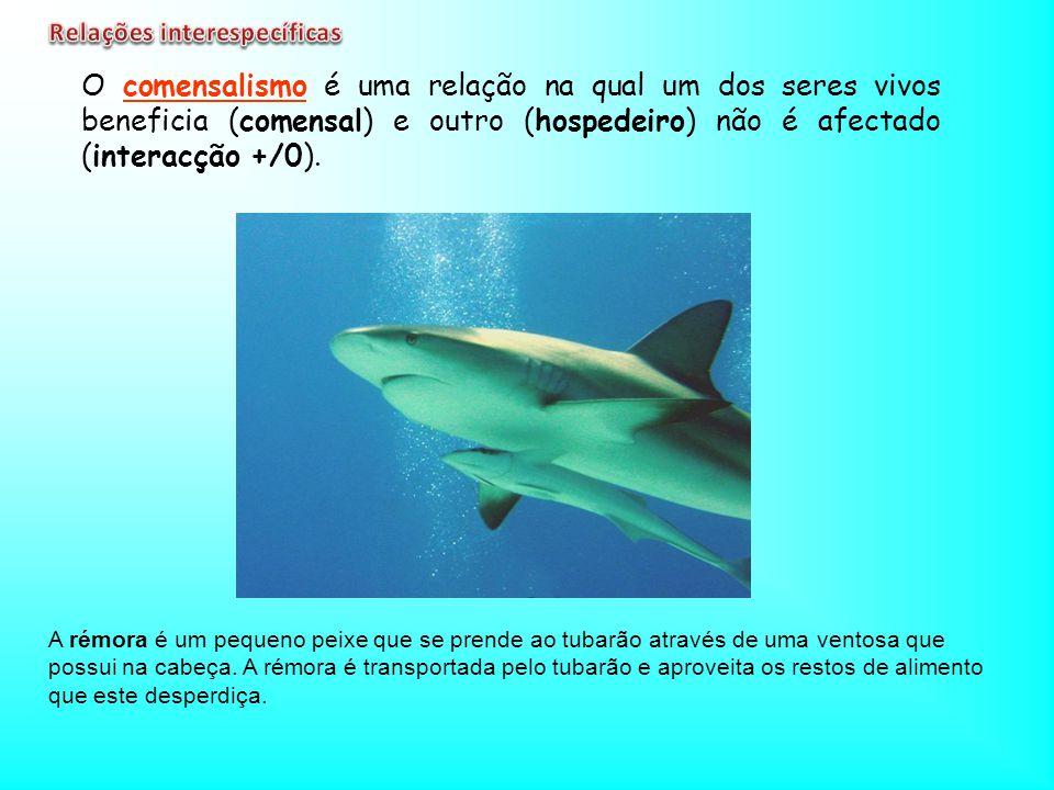 A rémora é um pequeno peixe que se prende ao tubarão através de uma ventosa que possui na cabeça. A rémora é transportada pelo tubarão e aproveita os