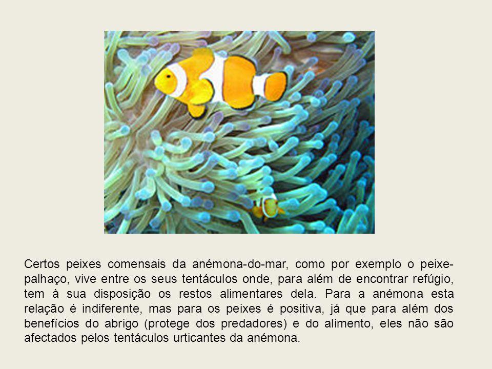 Certos peixes comensais da anémona-do-mar, como por exemplo o peixe- palhaço, vive entre os seus tentáculos onde, para além de encontrar refúgio, tem