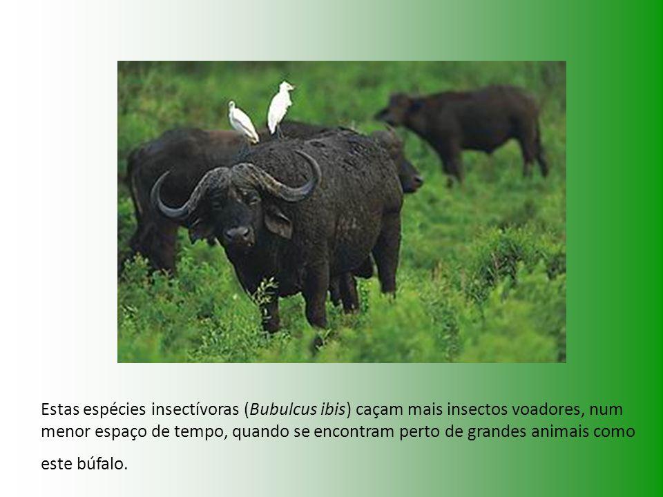 Estas espécies insectívoras (Bubulcus ibis) caçam mais insectos voadores, num menor espaço de tempo, quando se encontram perto de grandes animais como