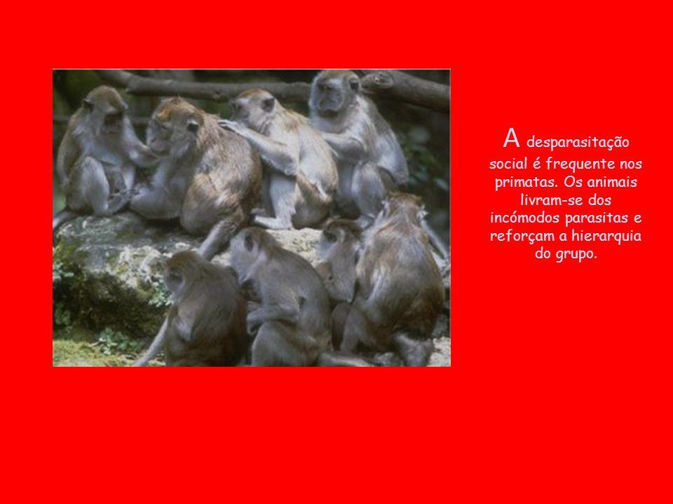 A desparasitação social é frequente nos primatas. Os animais livram-se dos incómodos parasitas e reforçam a hierarquia do grupo.