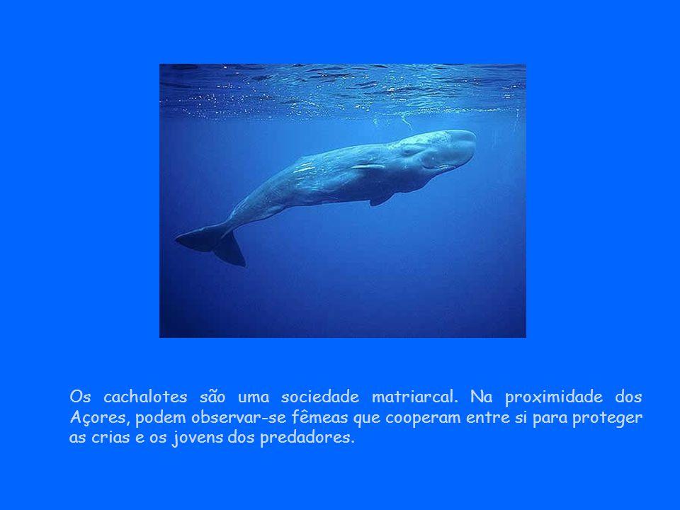 Os cachalotes são uma sociedade matriarcal. Na proximidade dos Açores, podem observar-se fêmeas que cooperam entre si para proteger as crias e os jove