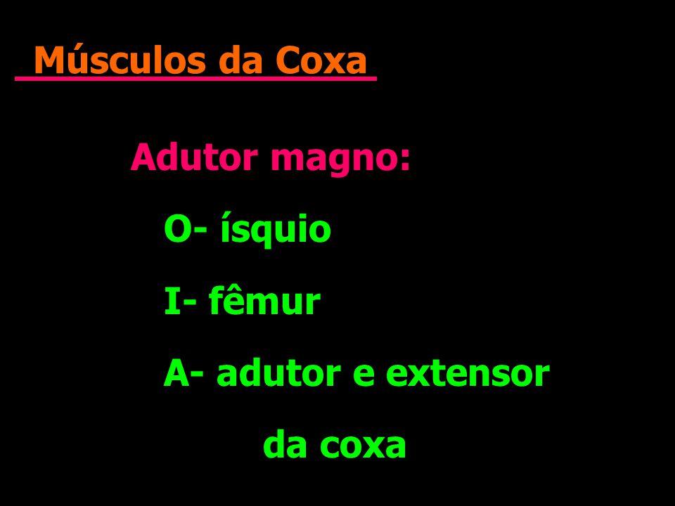 Músculos da Coxa Adutor magno: O- ísquio I- fêmur A- adutor e extensor da coxa Adutor magno: O- ísquio I- fêmur A- adutor e extensor da coxa