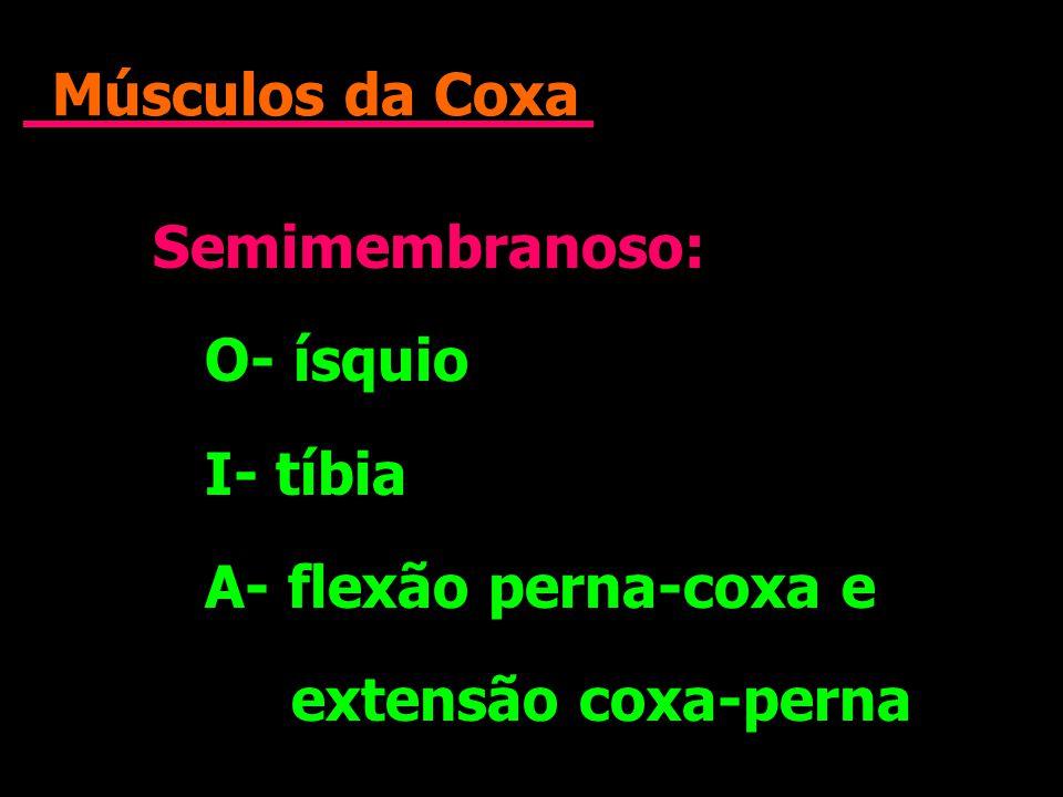 Músculos da Coxa Semimembranoso: O- ísquio I- tíbia A- flexão perna-coxa e extensão coxa-perna Semimembranoso: O- ísquio I- tíbia A- flexão perna-coxa