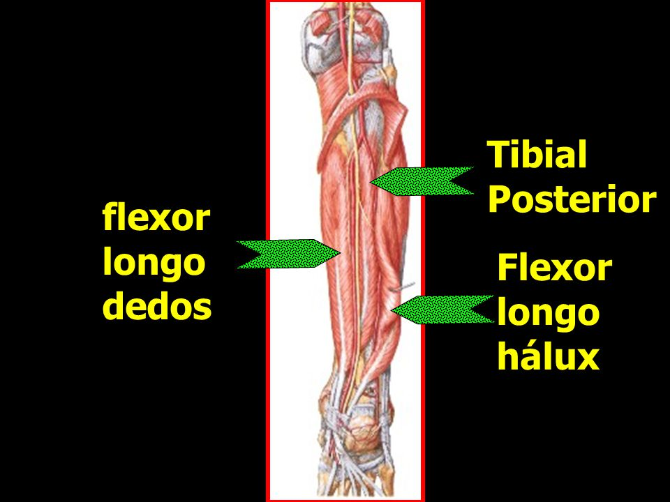 Tibial Posterior Tibial Posterior Flexor longo hálux Flexor longo hálux flexor longo dedos flexor longo dedos