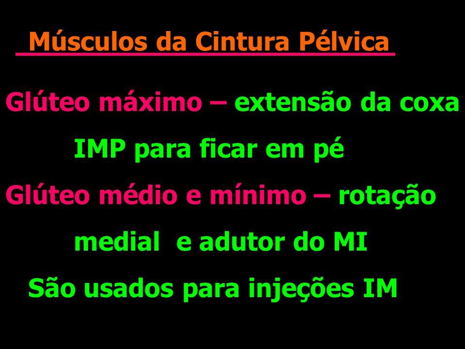 Músculos da Cintura Pélvica Glúteo máximo – extensão da coxa IMP para ficar em pé Glúteo médio e mínimo – rotação medial e adutor do MI São usados par