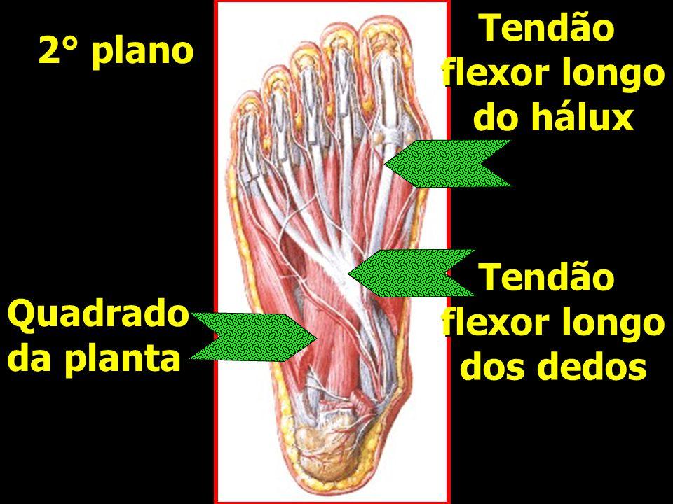 Quadrado da planta Quadrado da planta Tendão flexor longo dos dedos Tendão flexor longo dos dedos Tendão flexor longo do hálux Tendão flexor longo do