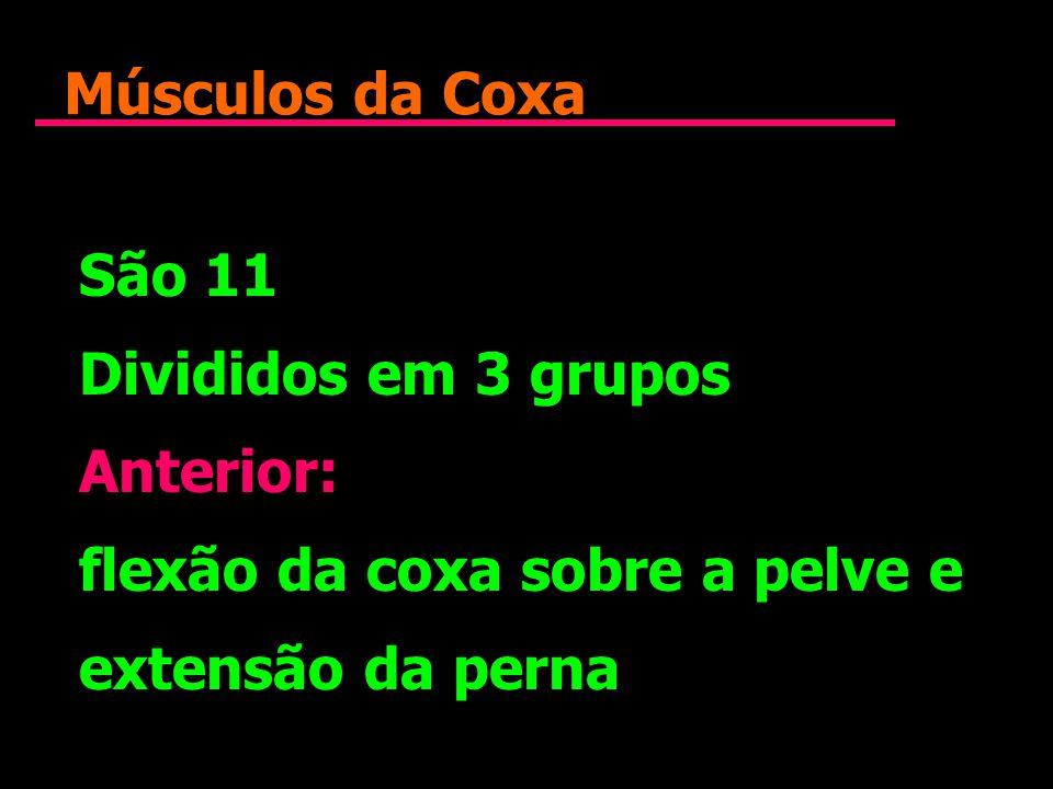 Músculos da Coxa São 11 Divididos em 3 grupos Anterior: flexão da coxa sobre a pelve e extensão da perna São 11 Divididos em 3 grupos Anterior: flexão