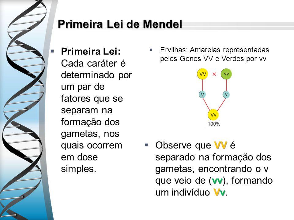 Primeira Lei de Mendel Primeira Lei: Cada caráter é determinado por um par de fatores que se separam na formação dos gametas, nos quais ocorrem em dos