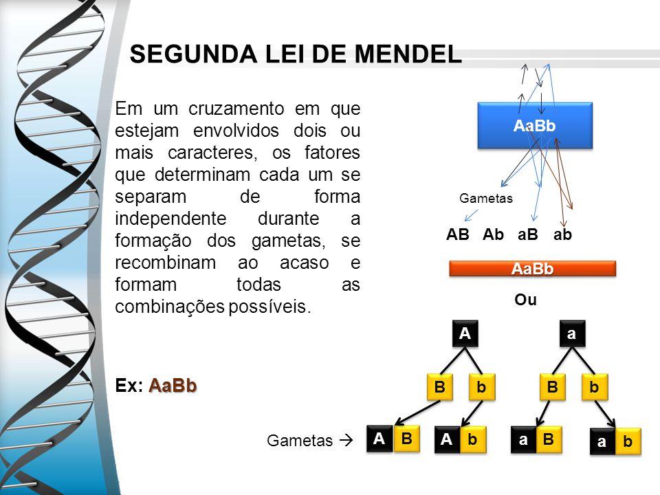 SEGUNDA LEI DE MENDEL Em um cruzamento em que estejam envolvidos dois ou mais caracteres, os fatores que determinam cada um se separam de forma indepe