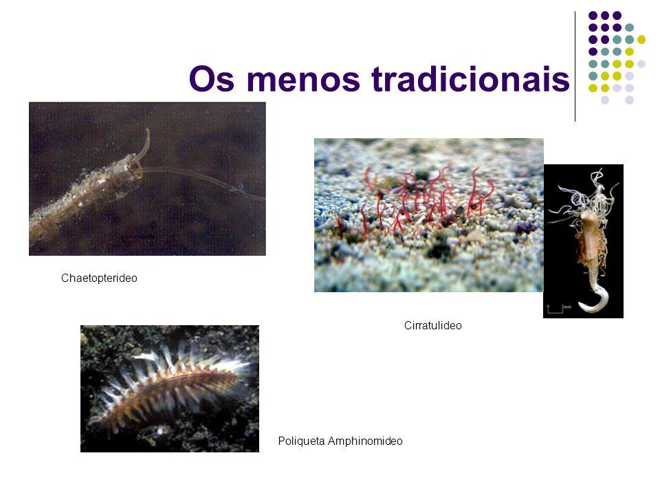 Os menos tradicionais Chaetopterideo Cirratulideo Poliqueta Amphinomideo