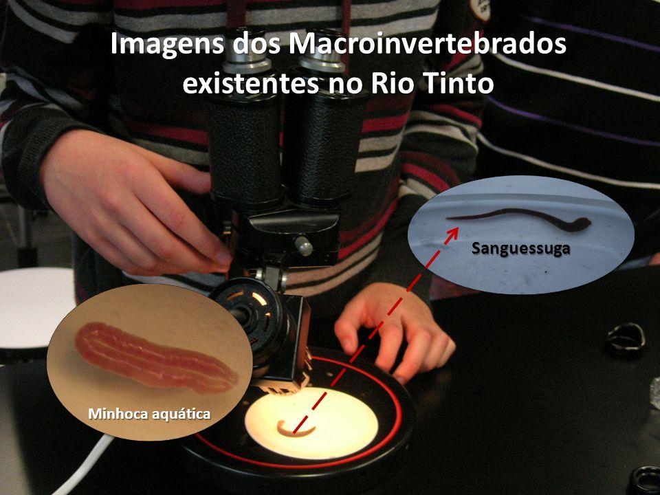Sanguessuga Minhoca aquática Imagens dos Macroinvertebrados existentes no Rio Tinto