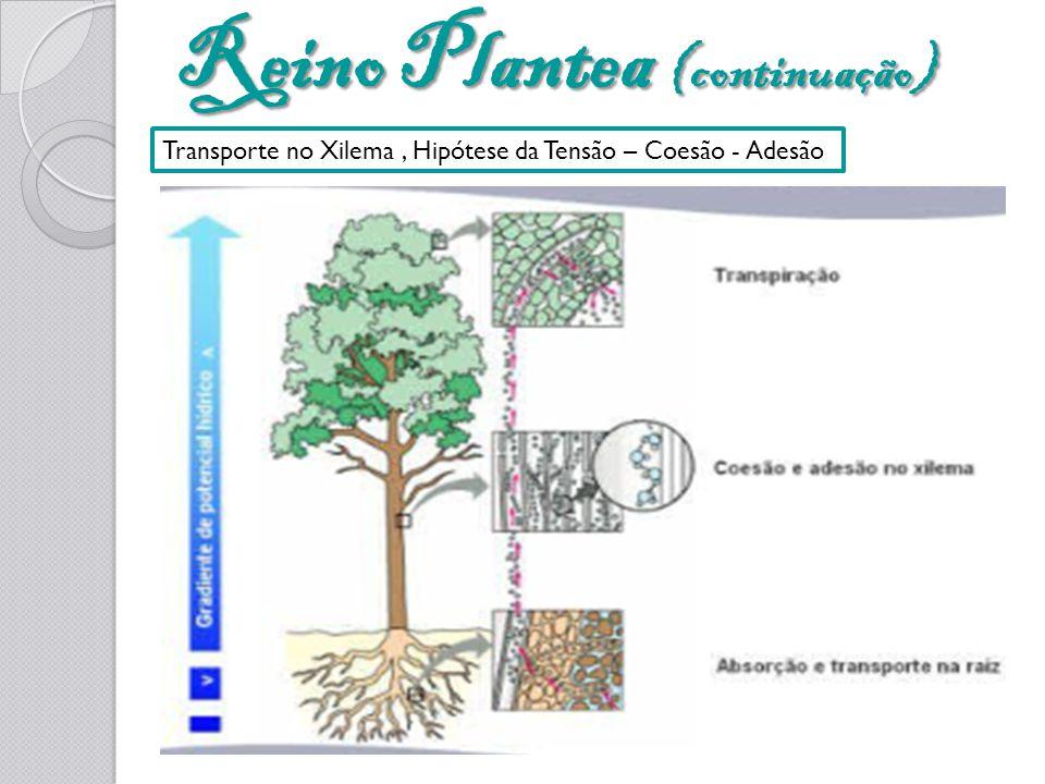 Reino Plantea (continuação) Transporte no Xilema, Hipótese da Tensão – Coesão - Adesão