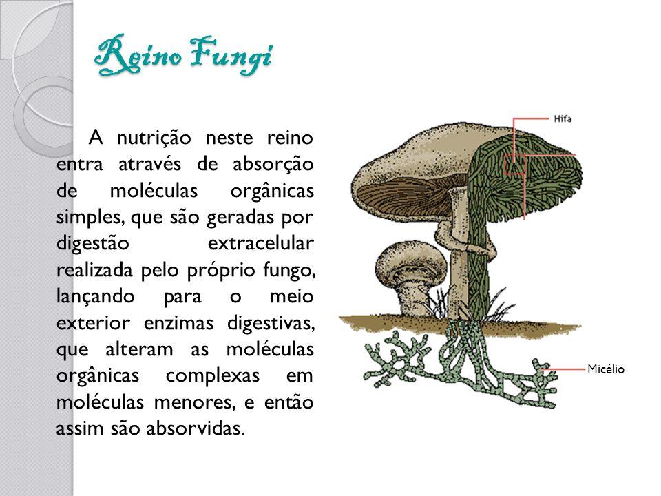 Reino Fungi A nutrição neste reino entra através de absorção de moléculas orgânicas simples, que são geradas por digestão extracelular realizada pelo