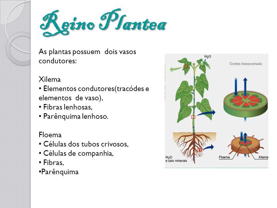 Reino Plantea As plantas possuem dois vasos condutores: Xilema Elementos condutores(tracódes e elementos de vaso), Fibras lenhosas, Parênquima lenhoso