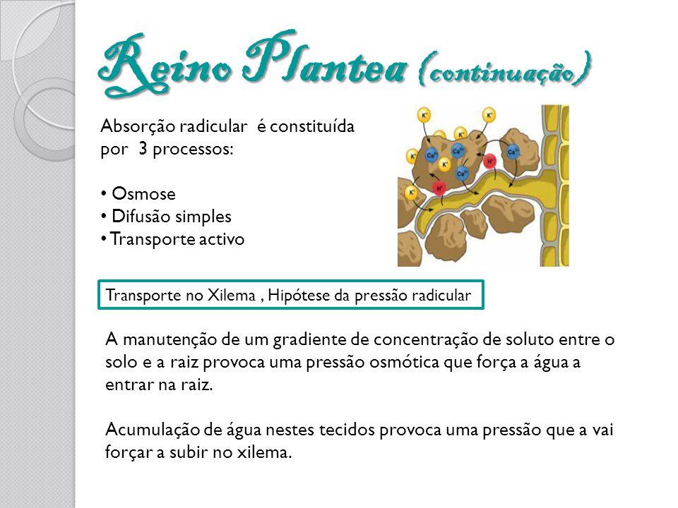 Reino Plantea (continuação) Absorção radicular é constituída por 3 processos: Osmose Difusão simples Transporte activo Transporte no Xilema, Hipótese