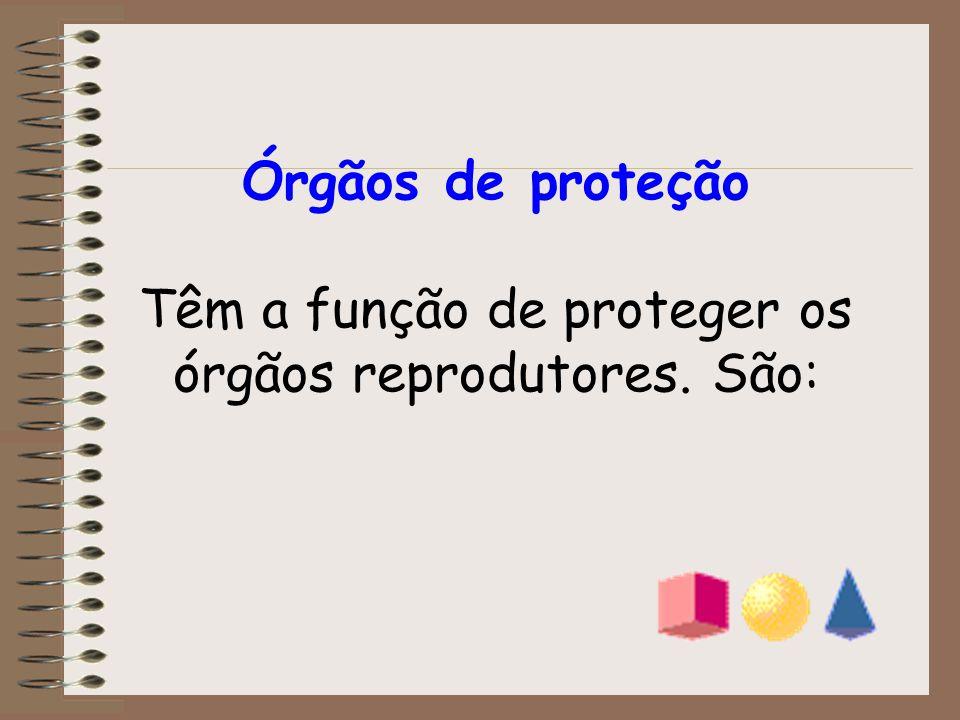 Órgãos de proteção Têm a função de proteger os órgãos reprodutores. São: