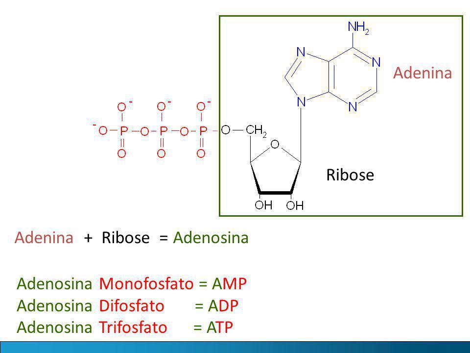 Adenina Ribose Adenina + Ribose = Adenosina Adenosina Monofosfato = AMP Adenosina Difosfato = ADP Adenosina Trifosfato = ATP