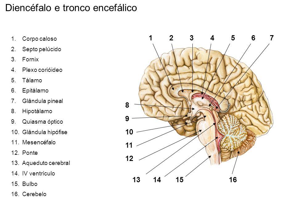 Diencéfalo e tronco encefálico 1 2 3 4 5 6 7 8 9 10 11 12 13 14 15 16 1.Corpo caloso 2.Septo pelúcido 3.Fornix 4.Plexo corióideo 5.Tálamo 6.Epitálamo